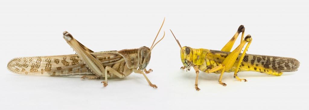 locusts%20facing-2