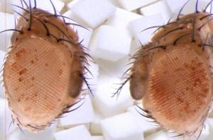 MPIfIE_Drosophila_Augen